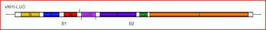 Le virus vNHI-LUC possède une cassette d'expression additionnelle codant pour la luciférase sous le contrôle des séquences de régulation du virus vNHI. Cette cassette d'expression est insérée entre les gènes viraux M et G