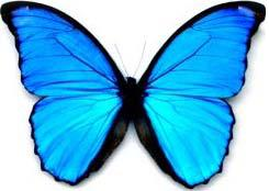 http://s3.e-monsite.com/2011/01/11/12/papillon-Morpho-6.jpg