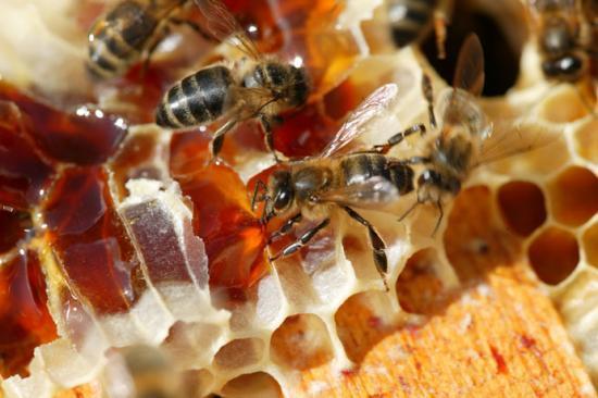 fabrication du miel par l 39 abeille. Black Bedroom Furniture Sets. Home Design Ideas