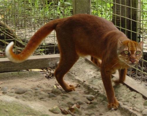 Zoology zoologie borneo bornéo map forum espèce éteinte félin félidé indonésie chat bai de bornéo catopuma badia pulong tai Malaisie