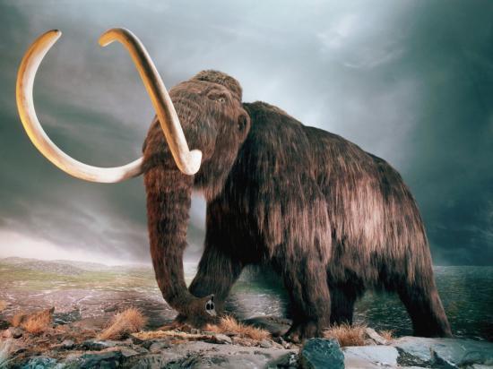 Mammouth laineux Mammuthus primigenius clonage université de kyoto génétique généticien biologie Akira Iritani Wakayama nucléus éléphant africain