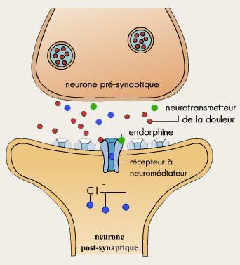 synapse dont le neurotransmetteur est la dopamine
