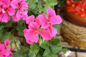 Les g raniums lierre - Quand rentrer les geraniums ...