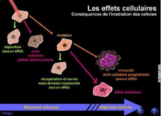 Les effets au niveau cellulaire d'une irradiation