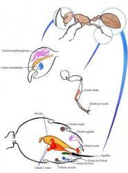 Schéma des Glandes Phéromonales d'une Fourmi