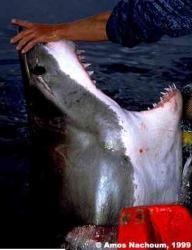 """André Hartman """"The Sharkman"""" repoussant un grand blanc"""