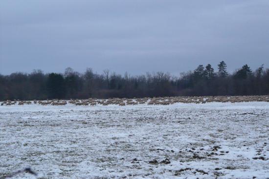 Troupeau de mouton et son berger en lorraine en janvier !(Ochey)