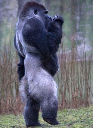 Ambam gorille bipède Howletts grands singes primates yéti népal gigantopithèque abominable homme des neiges himalaya Johanna Watson bipédie gorilla Lympne wild animal park Kent cryptozoology cryptozoologie england zoo angleterre royaume uni dos argenté marche humaine youtube