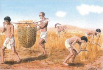 Récolte du blé par les agriculteurs