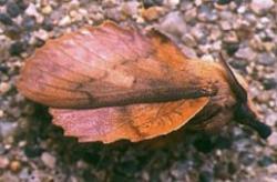 Feuille-morte du chêne