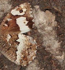 papillon silène sur un bouleau
