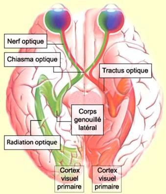 Passage du message nerveux dans le cerveau