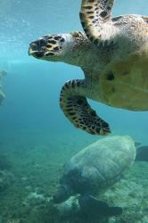 Kélonia tortue à Saint-Leu