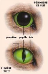 Rétraction de la pupille du chat