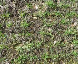 semis blé Aitchison