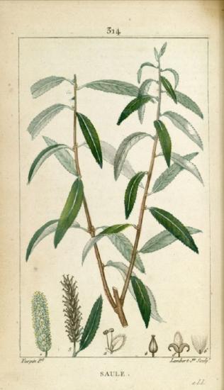 Planche issue de La Flore Médicale, de François Pierre Chaumeton