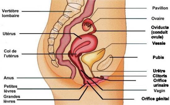 systeme genital feminin