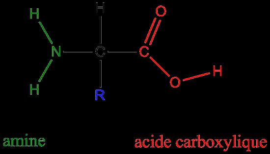 La structure générale des acides aminés