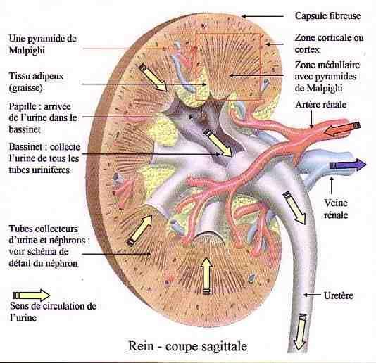Schéma anatomie infirmier