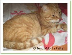 Combava, chat roux à adopter Paris