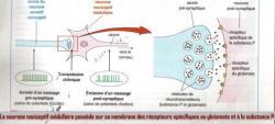 Schéma des mécanismes de transmission de la douleur