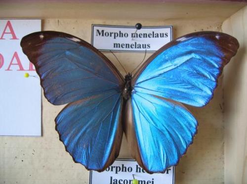 Morpho menelaus menelaus Photo et Coll. A.-M. Bea Mars 2011