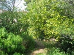 Le mimosa-chenille à la villa