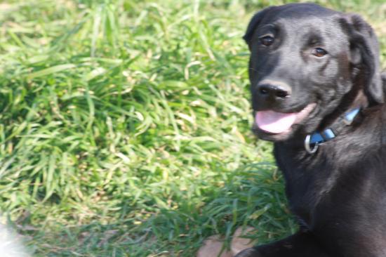 DIEGO  x labrador  né 10/10/2010  superbe et adorable . Attaché au   portail du refuge