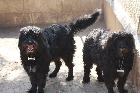 LILI et SNOOPY  Le père et le fille ... Lilli est née le 25/04/2005 et Snoopy le27/04/2002. Deux gros nounours frisés.Ideal avec des enfants .Très calmes et affectueux .abandonnés suite a des problémes familiaux.