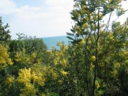Les mimosas sauvages, en Février