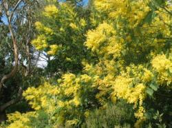 Les mimosas de l'hiver annoncent le printemps