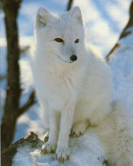 Vos animaux préférés Renard-polaire2